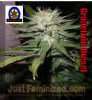 Next Generation Grapefruit Diesel Regular 5 Seeds